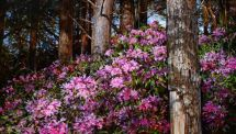tree creeper & rhodies