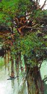 capper & scots pine