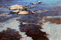 low tide - eider ducks