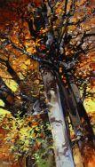 Sparrowhawk & Beech tree