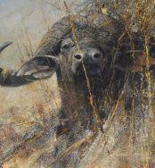 Cape Buffalo 3