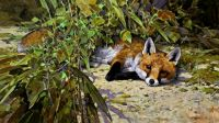 Fox and Oil Beetle