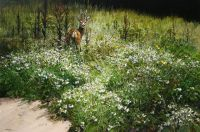 Roebuck and Oxeye Daisies