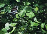 Jay in alder tree