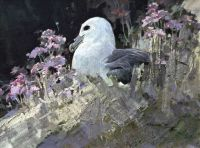 Fulmar and Thrift
